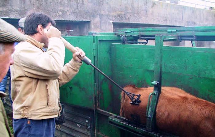 Primer animal herrado con el hierro de Urcola, diciembre de 2005
